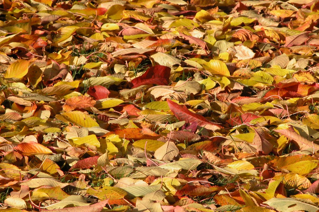 L'automne est en fête. Les feuilles sont tombées mais n'ont pas dit leur dernier mot. Il faut saisir l'instant pour admirer la féérie des couleurs