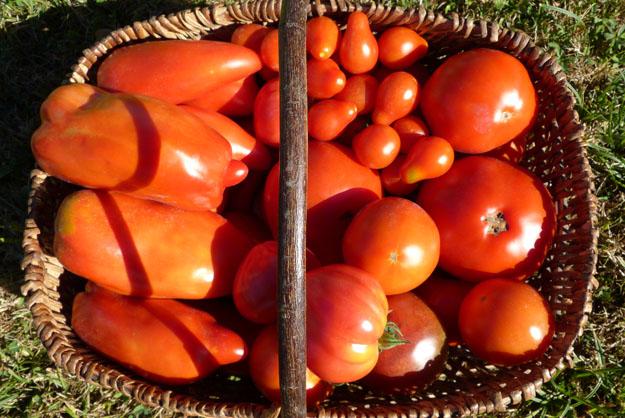 saisons_tomates