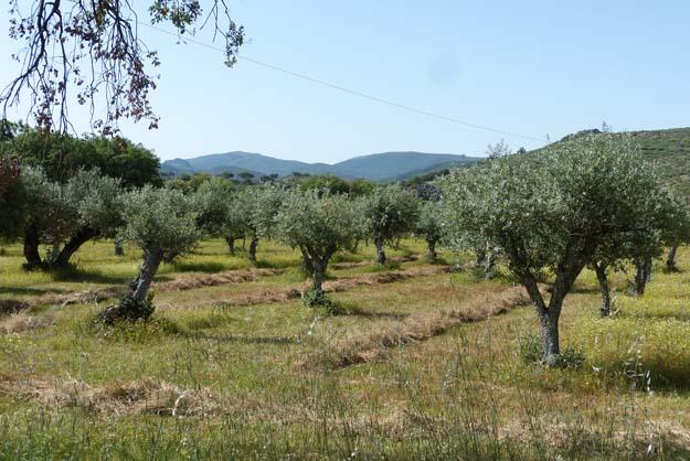 Champ d'oliviers dans la plaine de l'Alentejo